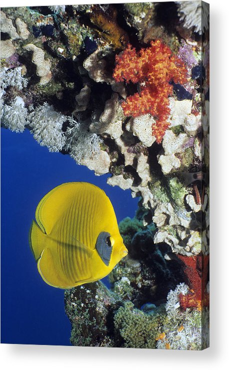 Chaetodon Semilarvatus Acrylic Print featuring the photograph Bluecheek Butterflyfish by Georgette Douwma