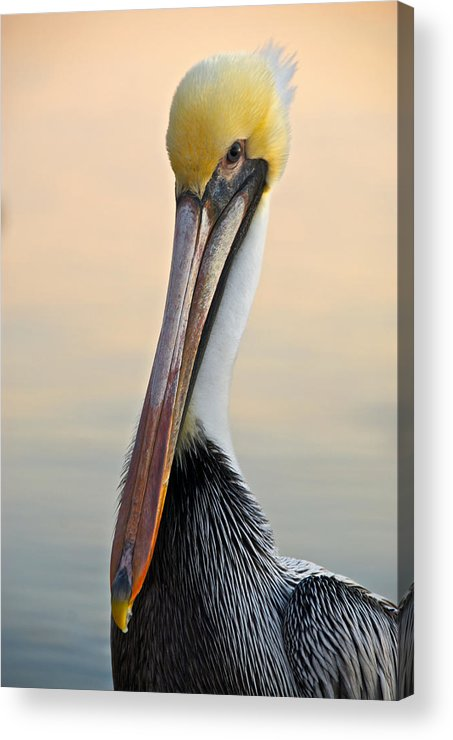 Pelican Acrylic Print featuring the photograph Brown Pelican Portrait by Georgia Nick