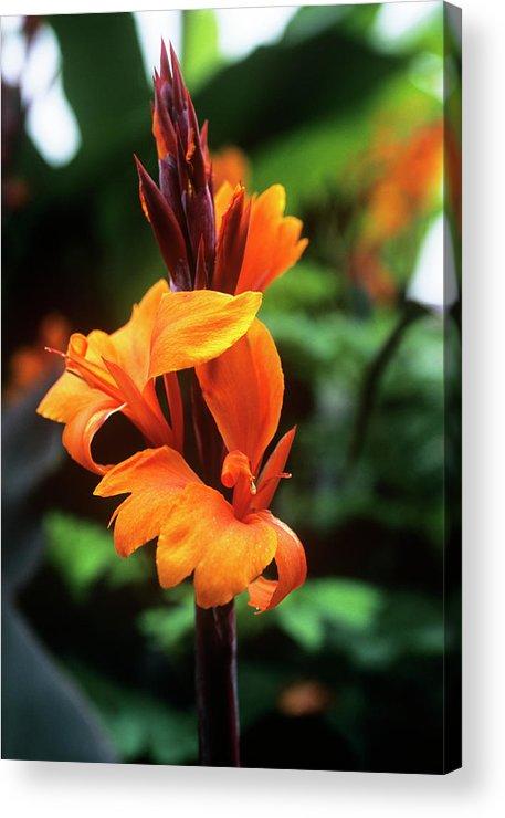'roi Humbert' Acrylic Print featuring the photograph Canna Lily 'roi Humbert' by Adrian Thomas
