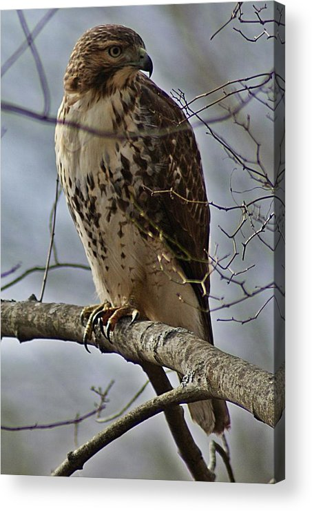 Cooper's Acrylic Print featuring the photograph Cooper's Hawk 2 by Joe Faherty