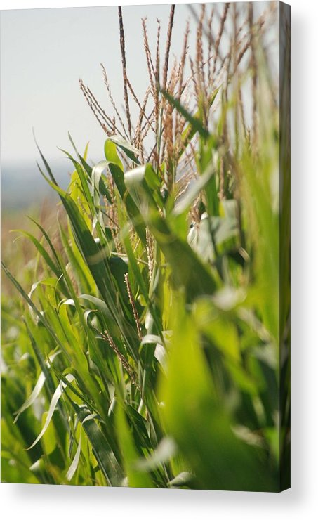 Corn Acrylic Print featuring the photograph Corn Country by Margaret Fortunato