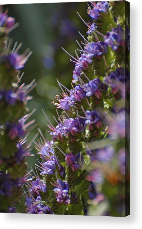 Echium Acrylic Print featuring the photograph Echium Valley by Jean Booth