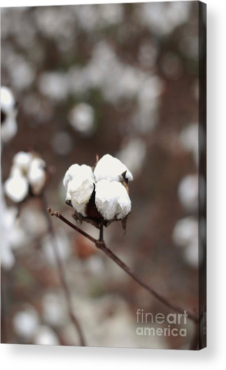 Cotton Acrylic Print featuring the photograph Fields Of Cotton by Ashley O