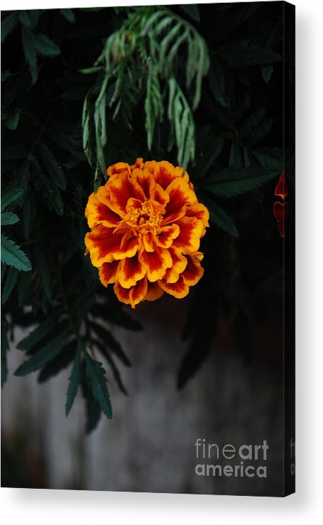 Flower Acrylic Print featuring the photograph Floral Fire by Ashley O