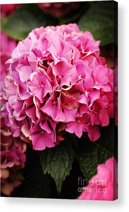 Hydrangea Acrylic Print featuring the photograph Hydrangea by Ashley O