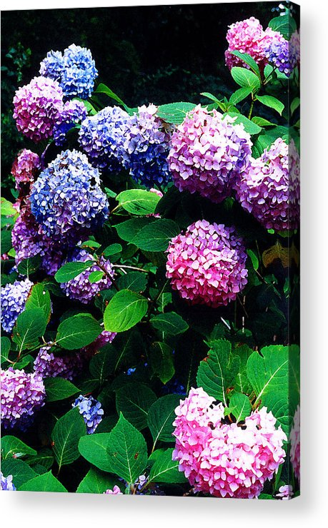 Flowers Acrylic Print featuring the photograph Hydrangeas by Nancy Mueller