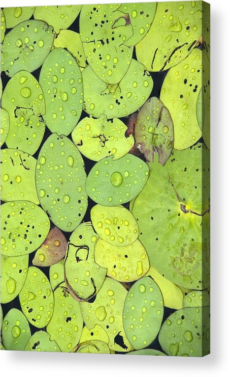 Lily Pads Acrylic Print featuring the photograph Lily Pads by Jessica Wakefield