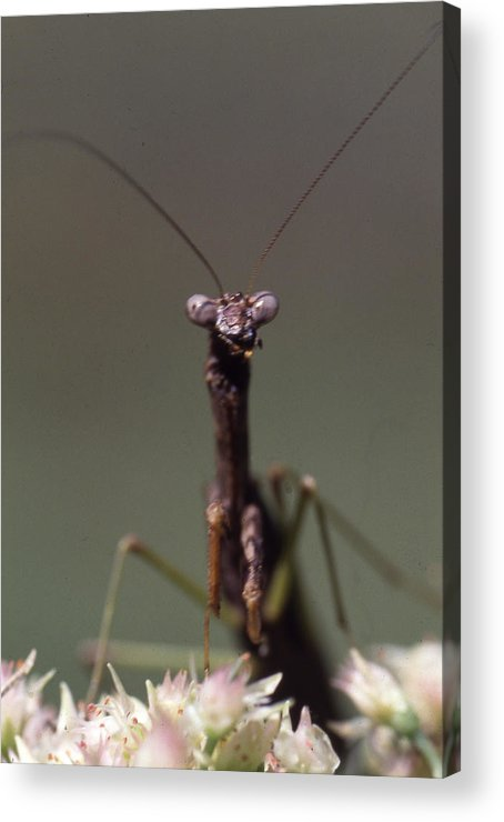 Acrylic Print featuring the photograph Mantis Hello by Curtis J Neeley Jr