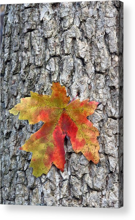 Fall Acrylic Print featuring the photograph Maple Leaf On A Maple Tree by Andreas Freund