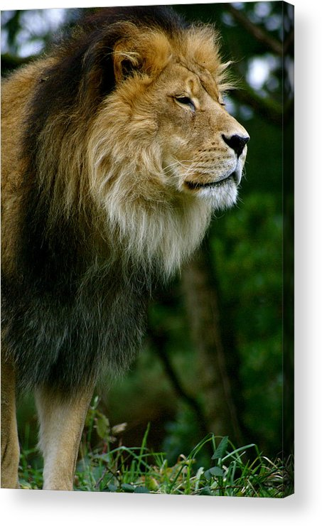 Zoo Acrylic Print featuring the photograph Master Of The Kingdom by Sonja Anderson