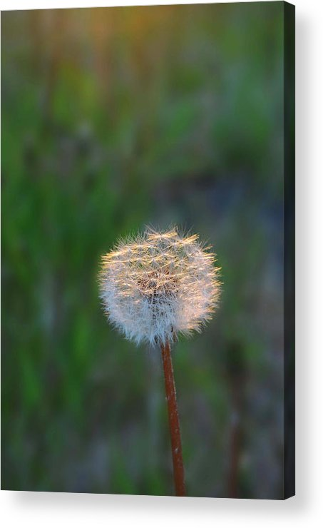Dandelion Acrylic Print featuring the photograph Morning Light by Marilynne Bull