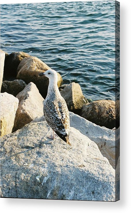 Seagull Acrylic Print featuring the photograph Narragansett Gull by Cheryl Martin