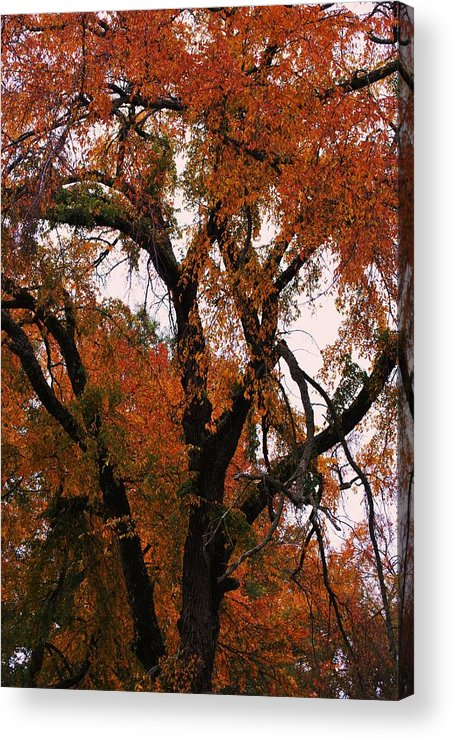 Tree Acrylic Print featuring the photograph Old Timer by Trudi Southerland