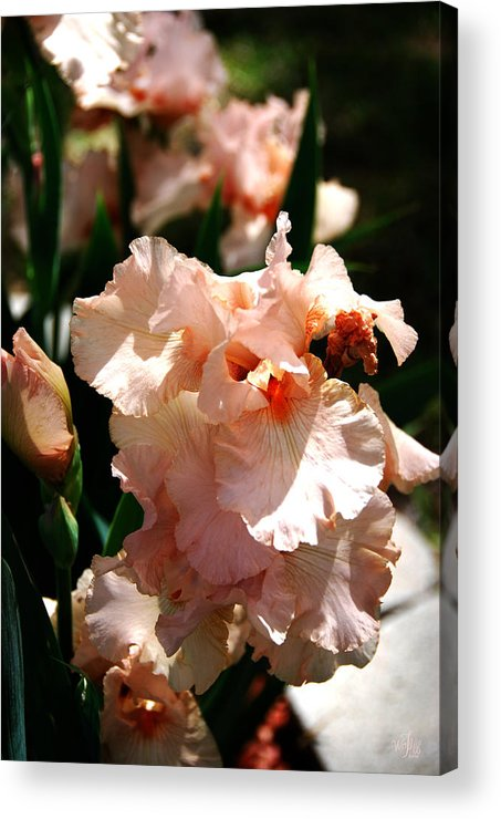 Bearded Acrylic Print featuring the photograph Peach Iris by Thea Wolff