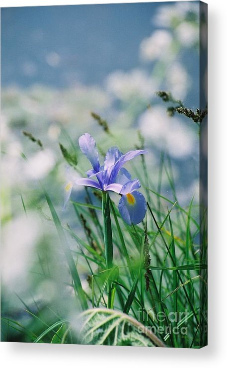 Periwinkle Acrylic Print featuring the photograph Periwinkle Iris by Nadine Rippelmeyer