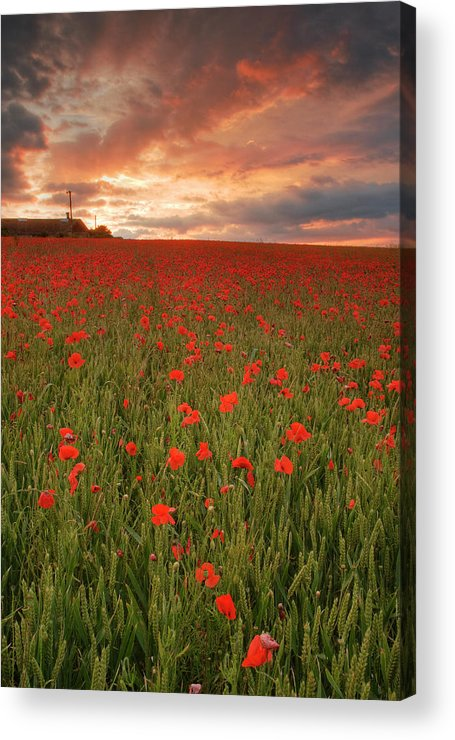 Poppy Fields Acrylic Print featuring the photograph Poppies At Dusk by John Chivers