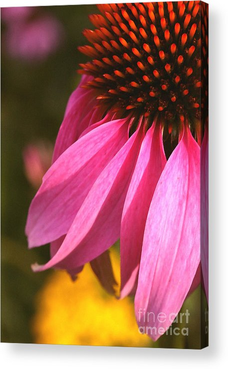 Coneflower Acrylic Print featuring the photograph Purple Coneflower Close-up by Steve Augustin