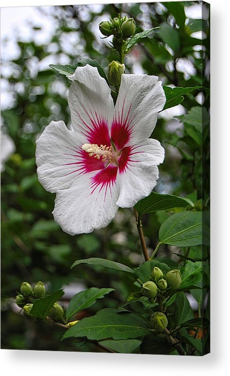 Red Heart Hibiscus Photography Acrylic Print featuring the photograph Red Heart by Kathleen Sartoris