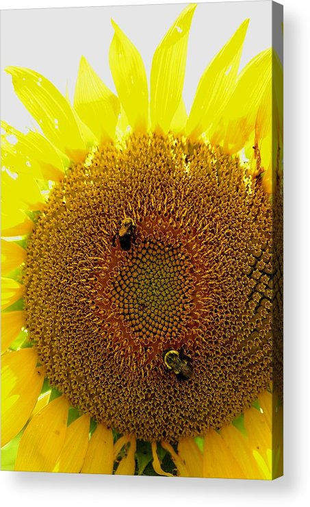Sunflower Acrylic Print featuring the photograph Sunflower With Bees by Bob Guthridge