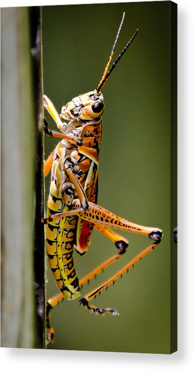 Hubber Acrylic Print featuring the photograph Hubber Grasshopper by Mike Rivera