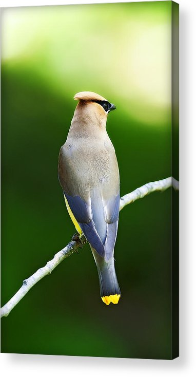 Natures Acrylic Print featuring the photograph Cedar Wax Wing by Edward Kovalsky