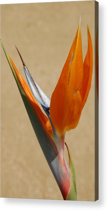 Flower Acrylic Print featuring the photograph Bird Of Paradise II by Jean Booth