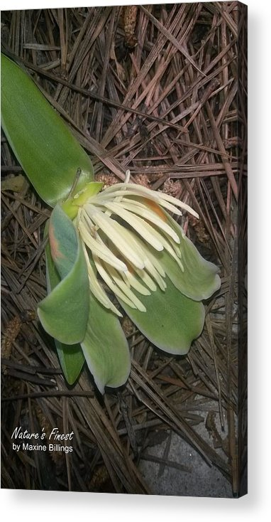 Poplar Tulip Trees Acrylic Print featuring the photograph Fallen Tulip by Maxine Billings
