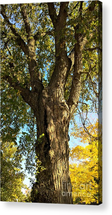 Tree Acrylic Print featuring the photograph Old Elm Trunk In The Park by Isaiah Moore