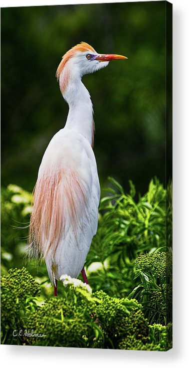 Cattle Egret Acrylic Print featuring the photograph Wearing Spring Colors by Christopher Holmes