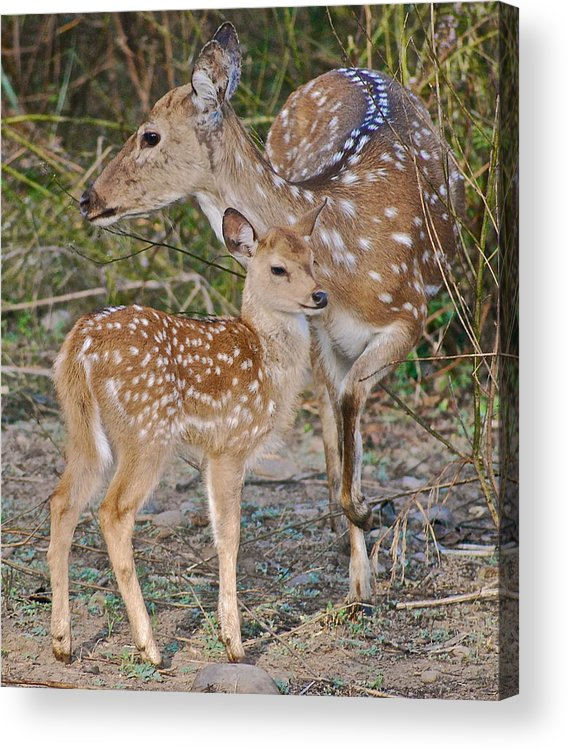 Asia Acrylic Print featuring the photograph Chital Deer And Fawn by Louise Morgan