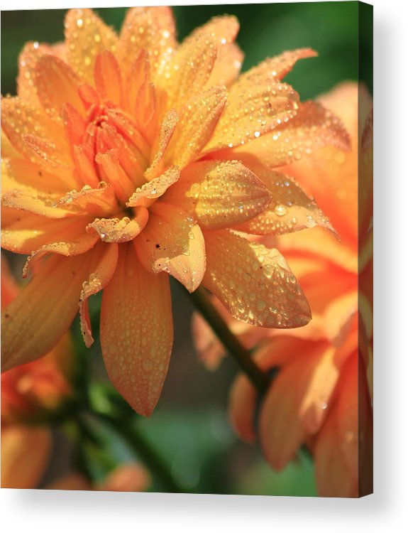 Flower Acrylic Print featuring the photograph Peach by Mike Stouffer