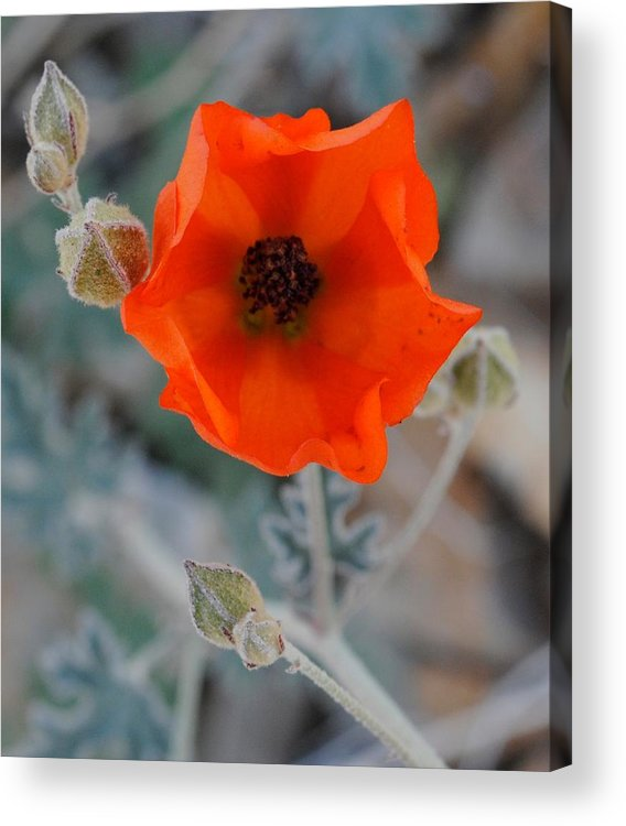 Flower Acrylic Print featuring the photograph Desert Wildflower by Meagan Suedkamp