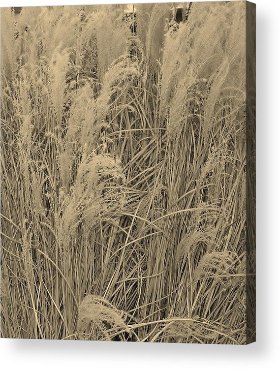 Muhli Acrylic Print featuring the photograph Muhli Grass by David Schmerer