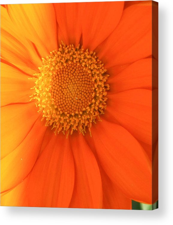 Sunflower Nature Flower Sun Amy Salter Photography Acrylic Print featuring the photograph Sunflower by Amy Salter