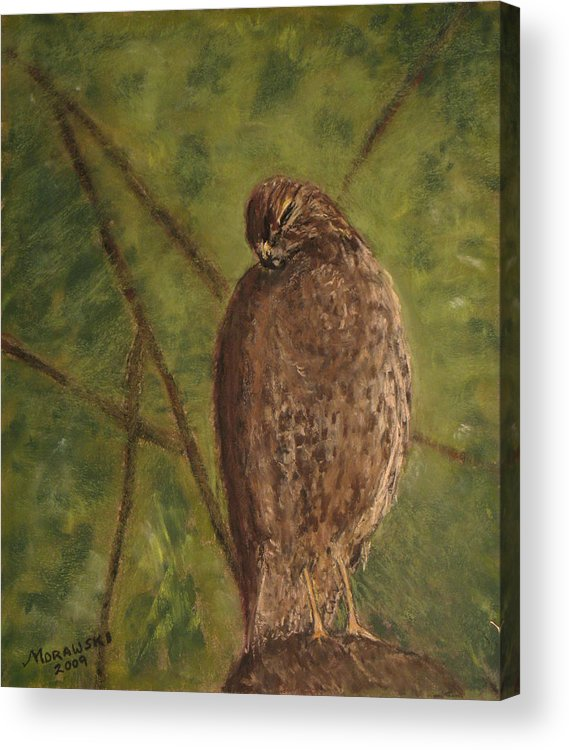 Hawk Acrylic Print featuring the painting Fledged Red-shouldered Hawk by Cindy Morawski