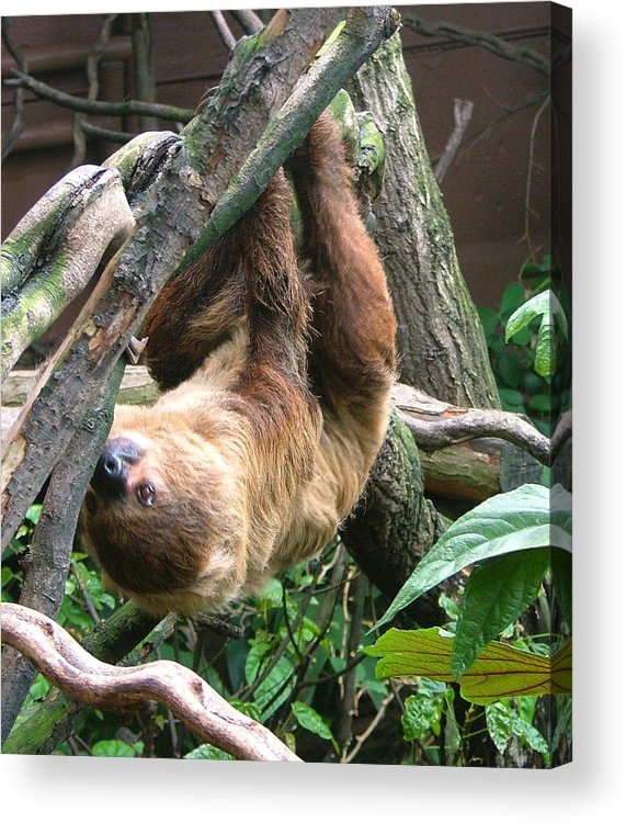 Photograph Acrylic Print featuring the photograph Tree Sloth by Heather Lennox