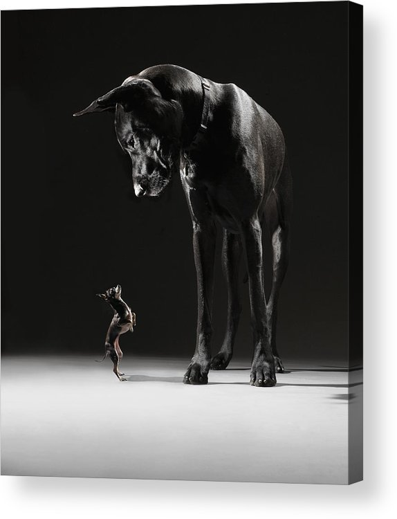 Large Acrylic Print featuring the photograph Great Dane And Chihuahua Staring At One by Lauren Burke