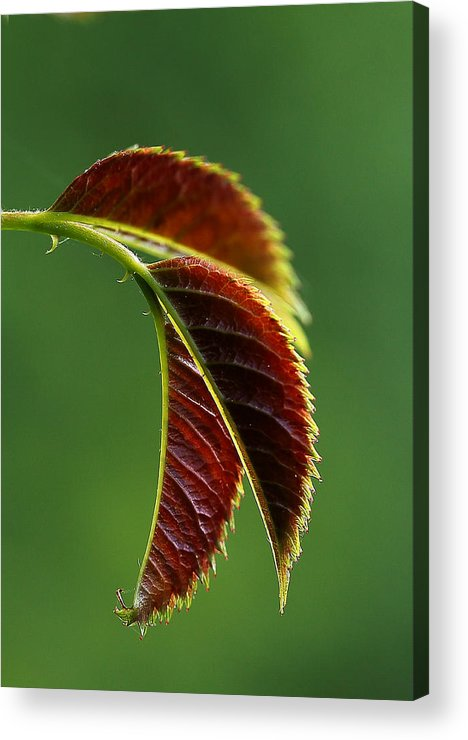 Leaf Acrylic Print featuring the photograph The Joy Of Spring by Mah FineArt