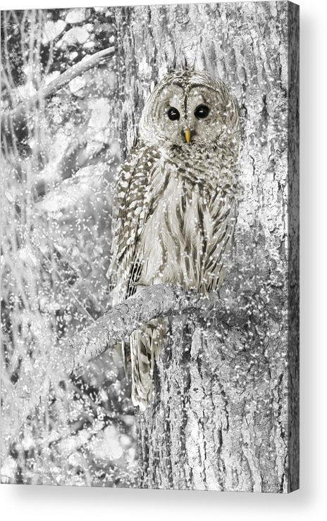 Owl Acrylic Print featuring the photograph Barred Owl Snowy Day In The Forest by Jennie Marie Schell