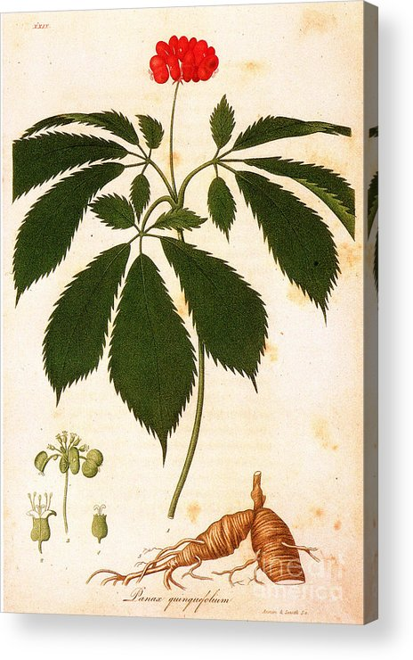 1810s Acrylic Print featuring the photograph Botany: Ginseng by Granger