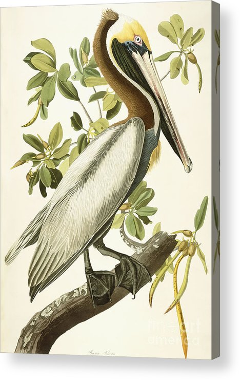 Brown Pelican Acrylic Print featuring the painting Brown Pelican by John James Audubon