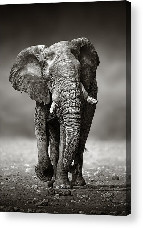 Elephant Acrylic Print featuring the photograph Elephant Approach From The Front by Johan Swanepoel