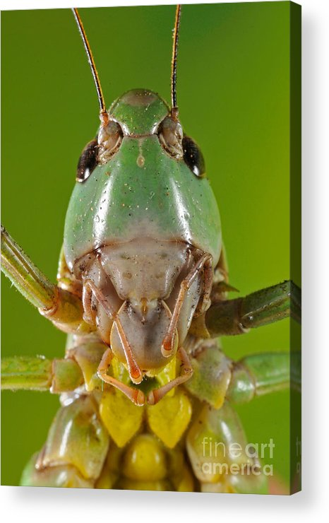 Animal Acrylic Print featuring the photograph Grasshopper by Francesco Tomasinelli