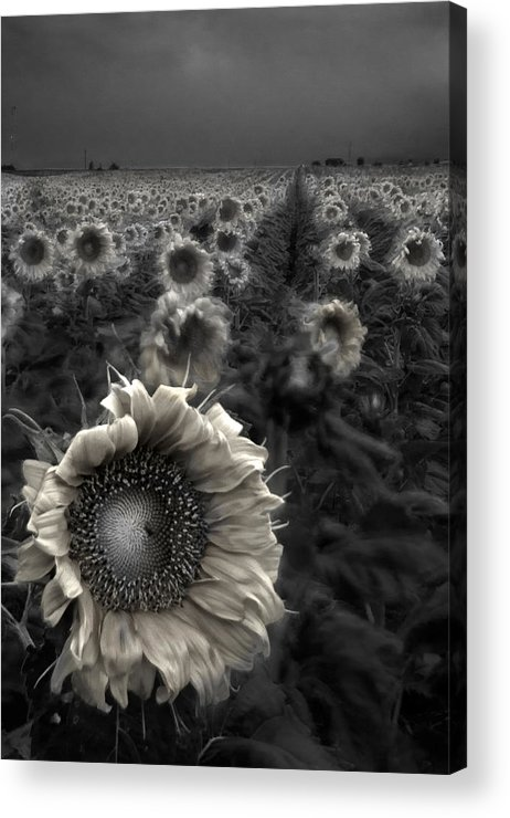 Featured Art Acrylic Print featuring the photograph Haunting Sunflower Fields 1 by Dave Dilli