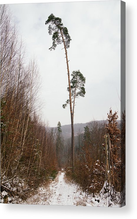 Winter Acrylic Print featuring the photograph Large Trees In The Nature Park In Winter by Matthias Hauser