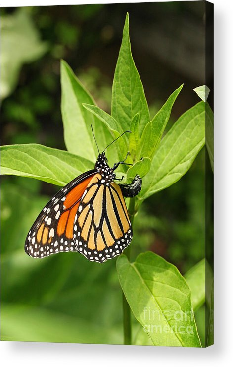 Monarch Acrylic Print featuring the photograph Monarch Egg Time by Steve Augustin