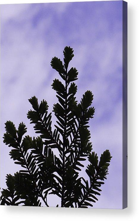 Fir Acrylic Print featuring the photograph Reach For It by Dawn Hagar