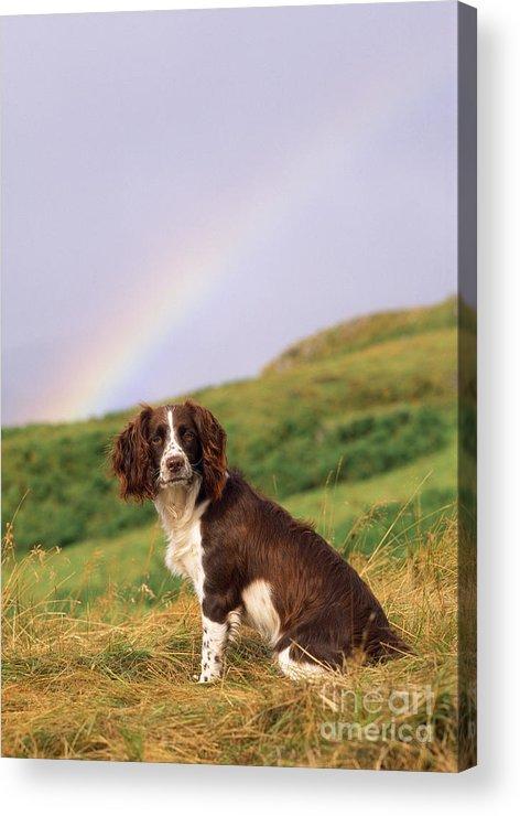 Springer Spaniel Acrylic Print featuring the photograph Springer Spaniel Dog by James Marchington