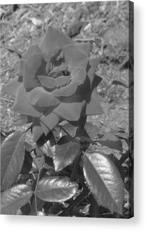 Rose Acrylic Print featuring the photograph Velvet Rose by Pharris Art