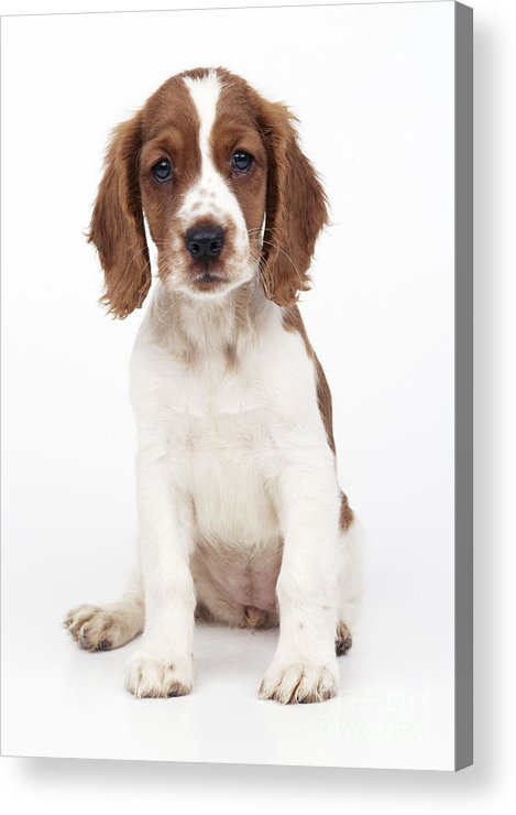 Welsh Springer Spaniel Acrylic Print featuring the photograph Welsh Springer Spaniel Dog by John Daniels